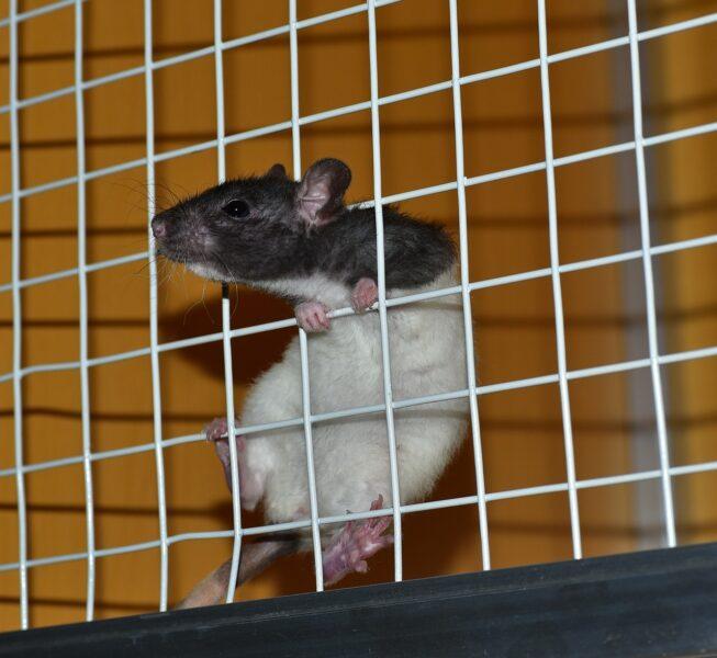 rat-822288_1280